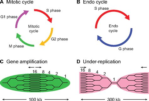 Dna Replication Definition | Examples and Forms