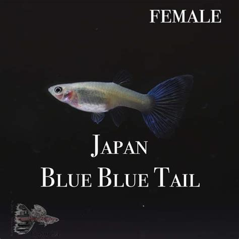 Japan Blue Blue Tail PAIR – Twin Cities Guppies