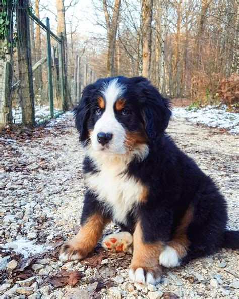 14 Interesting Facts About Bernese Mountain Dogs   Bernese