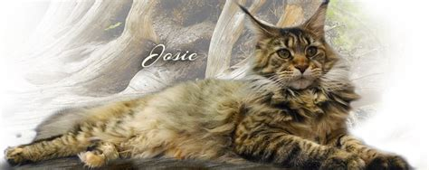 Maine Coons Florida - offered by Colossal Cats Tampa