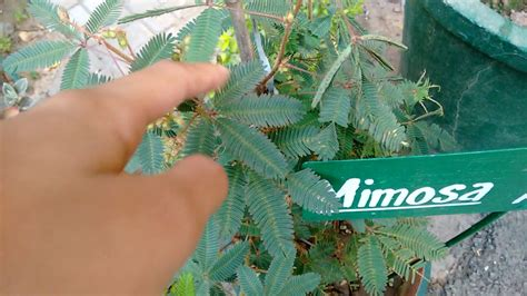 """Thigmotropism demonstration in Mimosa pudica  """"Touch-me"""