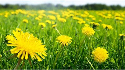 Dandelion – the most overlooked plant that protects the liver!