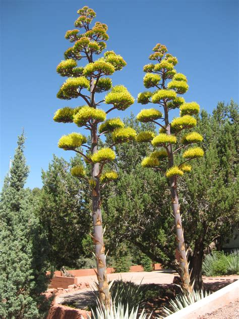 We Don't Plant Certain Trees in Las Vegas Landscaping