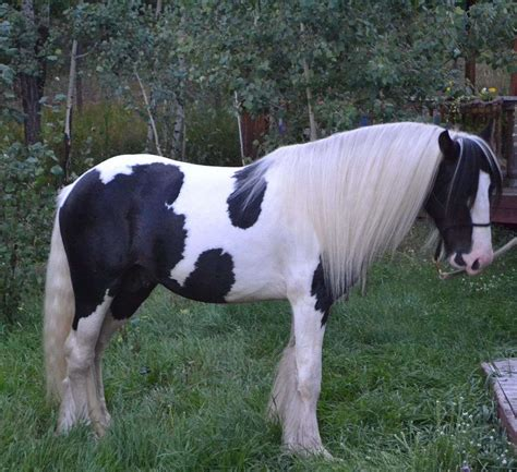 Traditional Gypsy Stallion at Stud - The Lion King grandson