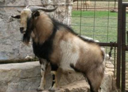 Goatzz: J & A Ranch is a goat ranch located in Tennyson