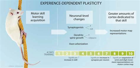 Brain Plasticity Definition   Examples and Forms