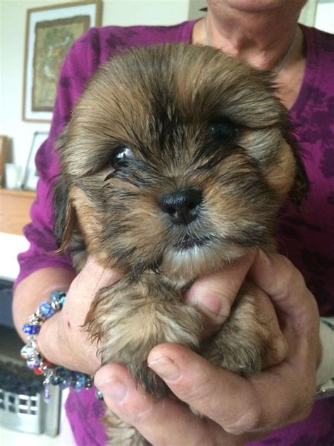 Shih tzu X yorkie terrier puppies for sale | Plymouth