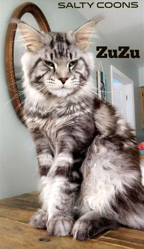 Maine Coon Cats For Sale   Tampa, FL #276833   Petzlover