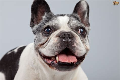 The health challenges of the French bulldog | Pets4Homes