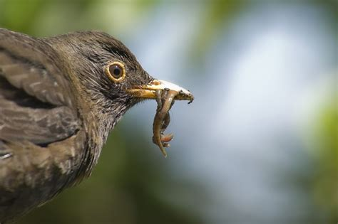 Common blackbird guide: species facts, how to identify